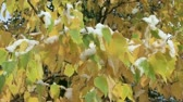 nyírfa : Autumn birch leaves with snow