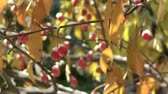 crab apple : Crab apples and snow Stock Footage