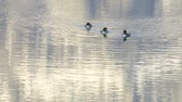 vadio : Three Common Loons on mountain lake