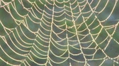 yansıma : A spider web with early morning dew drops Stok Video