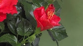 vegetal : Red Hibiscus, Flower opening, Time Laps Vídeos