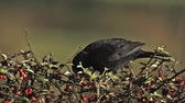 male animal : Blackbird, turdus merula, Male eating Berries from Cotoneaster, Normandy, Slow motion