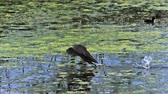 no people : Common Moorhen or European Moorhen, gallinula chloropus, Immature in Flight Taking off, Pond in Normandy, Slow motion Stock Footage