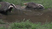fãs : European Badger, meles meles, Pair running through Water, Normandy, Slow motion