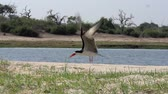 fãs : Black Skimmer, rynchops niger, Adult in Flight, Taking off, Chobe River, Okavango Delta in Botsana, Slow Motion