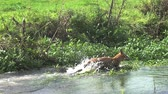 no people : Red Fox, vulpes vulpes, Adult crossing River, Normandy in France, Slow motion