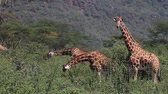 no people : Rothschilds Giraffe, giraffa camelopardalis rothschildi, Herd eating Bush, Nakuru Park in Kenya, Real Time