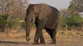 male animal : African Elephant, loxodonta africana, Male walking, Moremi Reserve, Okavango Delta in Botswana, Real Time Stock Footage