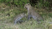 fãs : Leopard, panthera pardus, Mother with Cub, Moremi Reserve, Okavango Delta in Botswana, Slow Motion