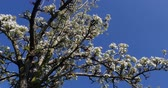 malus : Branch of Apple Tree in Flowers, Normandy, Real Time 4K