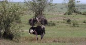 struś : Ostrich, Struthio camelus, Male and Female,Courtship displaying before Mating, Masai Mara Park in Kenya, Real Time 4K