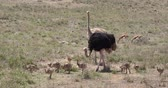 struś : Ostrich, struthio camelus, Male, Female and Chicks walking through Savannah, Nairobi National Park in Kenya, Real Time 4K