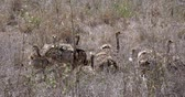 struś : Ostrich, struthio camelus, Chicks walking through Savannah, Nairobi National Park in Kenya, Real Time 4K