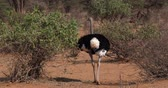 struś : Somali Ostrich, Struthio camelus molybdophanes, Male walking through the Bush, Samburu Park in Kenya, Real Time 4K