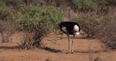 struś : Somali Ostrich, Struthio camelus molybdophanes, Male eating the Bush, Samburu Park in Kenya, Real Time 4K Wideo