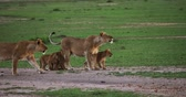 African Lion, panthera leo, Mothers and cubs, Masai Mara Park in Kenya, Real Time 4K