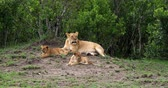 African Lion, panthera leo, Mother and Cub, Masai Mara Park in Kenya, Real Time 4K