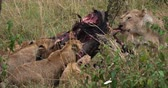 African Lion, panthera leo, Group with a Kill, a Wildebest, Masai Mara Park in Kenya, Real Time 4K