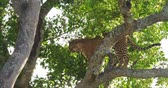 Leopard, panthera pardus, Adult standing in Tree, Masai Mara Park in Kenya, Real Time 4K