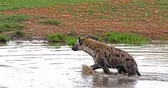 Spotted Hyena, crocuta crocuta, Adult standing at Pond, Masai Mara Park in Kenya, Real Time 4K