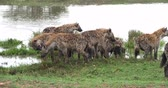 Spotted Hyena, crocuta crocuta, Group standing at Pond, Masai Mara Park in Kenya, Real Time 4K