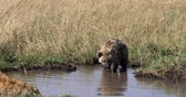 Spotted Hyena, crocuta crocuta, Mother and young standing in water, Masai Mara Park in Kenya, Real Time 4K