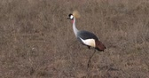 regulorum : Grey Crowned Crane, balearica regulorum, Adult at Nairobi Park in Kenya, Real Time 4K