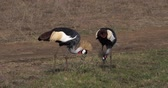 regulorum : Grey Crowned Crane, balearica regulorum, Pair at Nairobi Park in Kenya, Real Time 4K