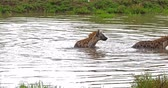 Spotted Hyena, crocuta crocuta, Adults playing in water, Masai Mara Park in Kenya, Real Time 4K Vídeos