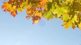 clorofila : Autumn colorful bright branch tree with bright foliage on a blue sky background