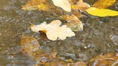 dissolução : Closeup of maple leaves at the autumn drifting on water Vídeos