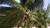 Coconut palm trees are moving on the wind