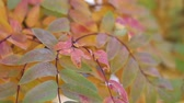 říjen : Colorful rowan leaves on the tree moving on the wind Dostupné videozáznamy