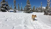 лохматый : Dog walking in a winter forest with snow covered pine trees Стоковые видеозаписи
