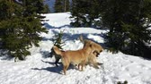 vadászkutya : Red fur dogs playing on snow in a winter forest