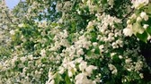 saturated : Blooming apple tree branches moving on the wind Stock Footage