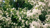 Blooming apple tree branches moving on the wind Stockvideo