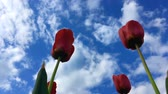Three red tulips in front of blue sky