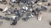 Group of hungry pigeons running and eating bread and seeds from the ground.