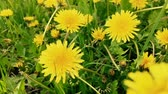 Dandelion flowers on a field