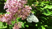zvěř a rostlinstvo : White cabbage butterfly Pieris brassicae sitting on lilac flower. Slow motion Dostupné videozáznamy