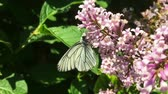 zvěř a rostlinstvo : White cabbage butterfly Pieris brassicae flying and lending on lilac flower. Slow motion