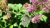 White cabbage butterfly Pieris brassicae sitting on lilac flower. Slow motion Stockvideo