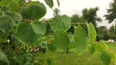 Rain falls down on the linden leaves. Water drops on green leaves of linden tree.