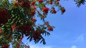 Bush of red ripe mountain ash in the wind.