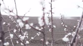 springtime : cherry blossom in front of black field is plowing tractor