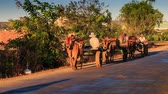 cartn corrugado : MUI NE, BINH THUAN  VIETNAM - MARCH 18, 2016: Vietnamese men drive bull carriages along asphalt road against trees scooters pass by at sunset on March 18 in Mui ne Stock Footage