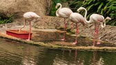 trough : group of pink flamingos eat food on stone lake bank and from red trough in park Stock Footage