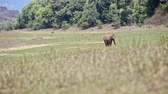 wildland : distant large elephant grazes freely on grass meadow against forest in Indian national tropical park