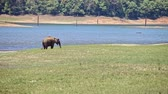 wildland : distant large elephant grazes freely on grass meadow against forest by lake in Indian national tropical park